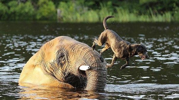 Слон и пес, которых подружила вода. Слон и пес, которых подружила 4