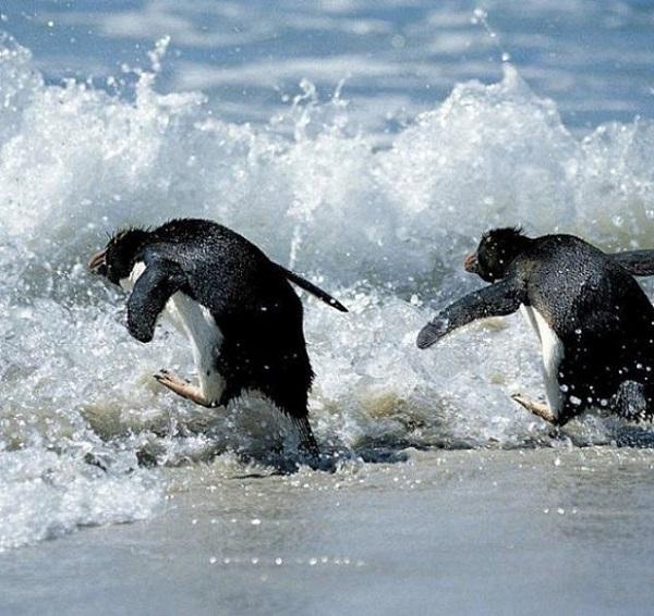 Пингвины, как люди, не любят первыми заходить в воду. 14816.jpeg