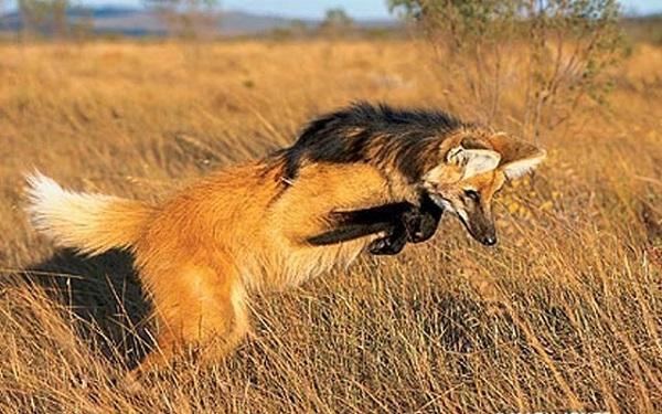 Волк, который ест бананы. 14819.jpeg