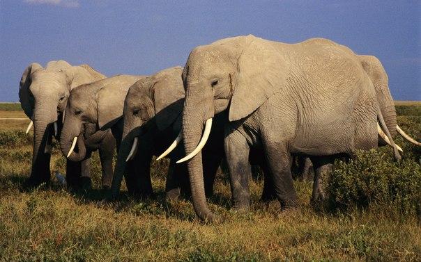 Каким образом слоны могут передавать друг другу информацию на расстоянии до 30 км?