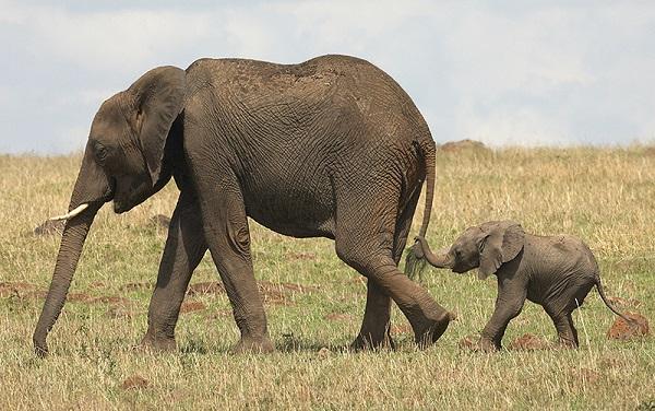Каким образом слоны могут передавать друг другу информацию на расстоянии до 30 км?. 16866.jpeg