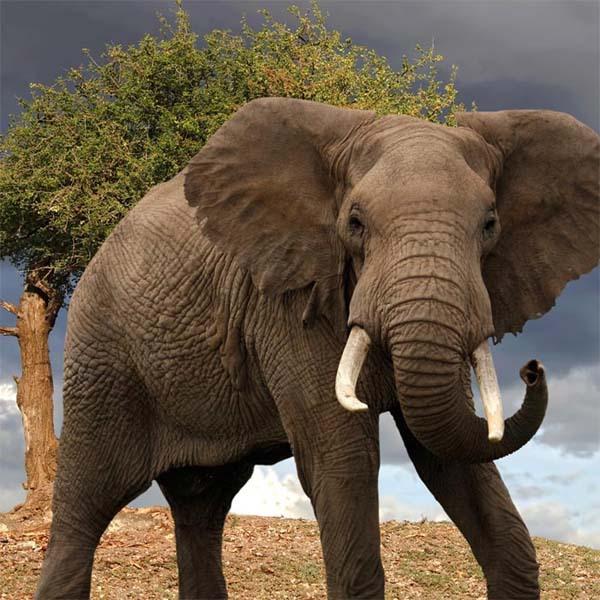 Каким образом слоны могут передавать друг другу информацию на расстоянии до 30 км?. 16867.jpeg