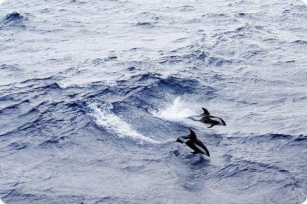 Крестовидный дельфин. ~КРЕСТОВИДНЫЙ ДЕЛЬФИН~ 3