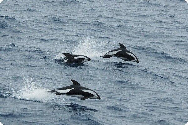 Крестовидный дельфин. ~КРЕСТОВИДНЫЙ ДЕЛЬФИН~ 4