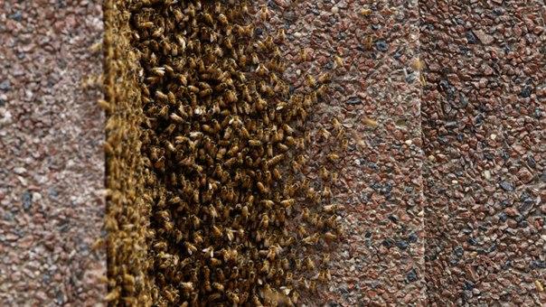 Небоскреб в Нью-Йорке закрыли из-за того, что 20 тысяч пчел устроили в нем улей. Небоскреб в Нью-Йорке закрыли 1