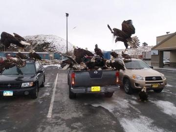 Орлы на Аляске – как голуби у нас